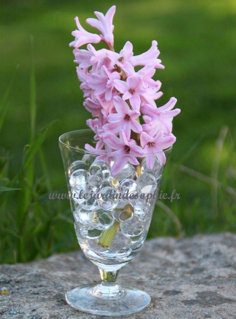 Jacinthe rose dans un verrre avec des bille d'eau